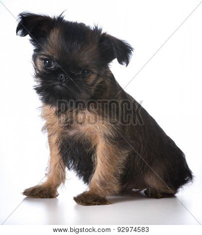 cute puppy - brussels griffonsitting looking at viewer - 8 weeks old