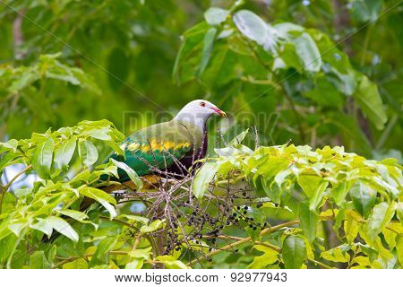 Woompoo Fruit Dove Sitting on a Fig Tree, Australia