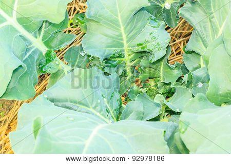 Broccoli  Growing In Home Vegetable Garden