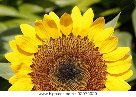 Sunflower In Closeup
