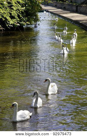 Swans On Parade