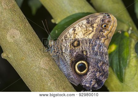 Giant Owls Butterfly