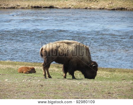 Yellowstone bison eating breakfast with their calf
