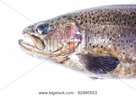 Rainbow Trout (oncorhynchus Mykiss) Male, Isolated On A White Background.