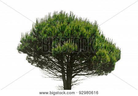 Stone Pine, Pinus Pinea