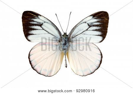 Cepora laeta butterfly or Timor Gull in English coming from Wetar Island on Timor, Indonesia