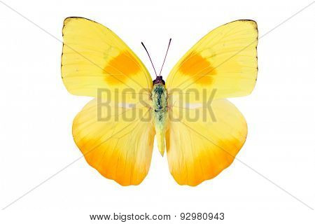 Yellow butterfly from Tingo Maria in Peru, Phoebis Philea Philea in Latin, orange-barred sulphur in English
