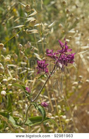 Flowers Of Canarian Sage