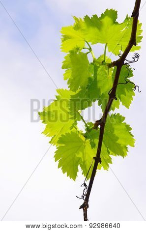 A vine branch with green leaves against a bright sky