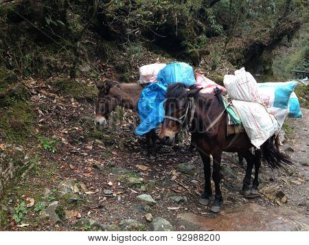 The Mules Are Carrying Stuffs For Trekking In Nepal