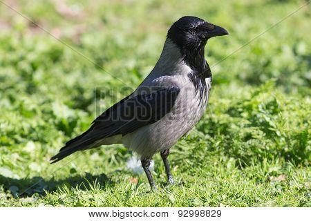 Portrait Of A Crow Closeup