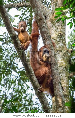 Female orangutan with a baby hanging on a tree in Gunung Leuser National Park, Sumatra, Indonesia