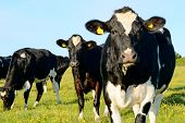 image of cow head  - Black and white cows in grass field - JPG