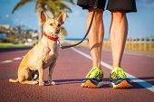 picture of dog-walker  - chihuahua dog close together to owner walking with leash outside at the park as friends dog looking what is happening around - JPG