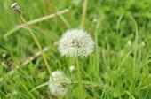 foto of dandelion  - Field of white fluffy dandelions white dandelion on green natural background - JPG
