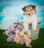 stock photo of collie  - Beautiful Collie puppy sitting in a bucket in the grass with flowers around her with copy space - JPG