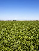 picture of rutabaga  - an agricultural field on which grow up beetroots - JPG