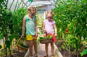image of root-crops  - Cute little girls collects the crop cucumbers in the greenhouse - JPG