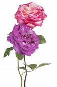 foto of purple rose  - Studio Shot of Purple and Pink Colored Rose Flowers Isolated on White Background - JPG