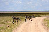 image of grassland  - Zebra in the grasslands of the National Park - JPG