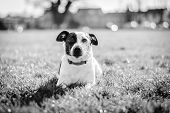 image of jack russell terrier  - Jack Russell terrier dog in a park on grass - JPG