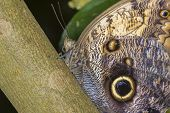 foto of mimicry  - Giant Owls butterfly perched on a branch - JPG