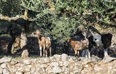 stock photo of tame  - Tame goats among the olive trees. Sun light ** Note: Shallow depth of field - JPG
