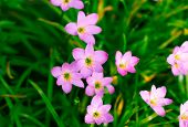 image of lily  - Zephyranthes Lily - JPG