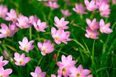 pic of lily  - Beautiful Zephyranthes Lily Rain Lily Fairy Lily Little Witches in the garden - JPG