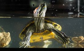 stock photo of terrapin turtle  - Little green young turtle sitting in aquarium