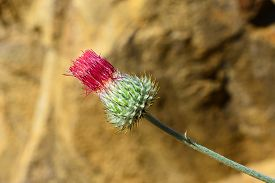 stock photo of scottish thistle  - A brightly colored thistle thrives in California - JPG