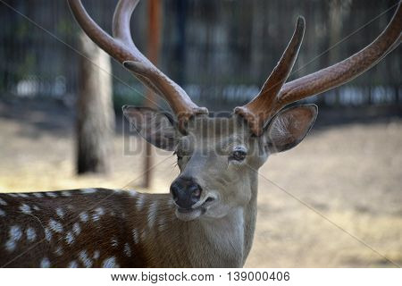 Sika deer with big horns stares into the distance