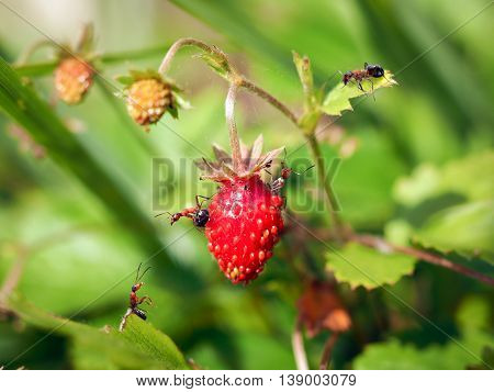 Ripe red strawberries in a green grass and a lot of ants
