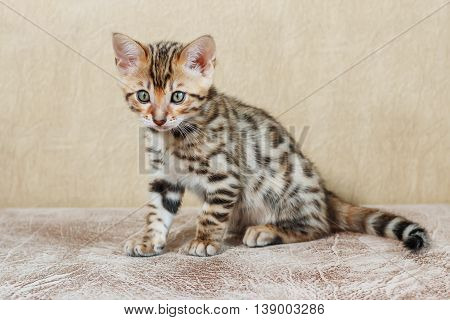 Single adorable brown spotted bengal kitten on neutral background