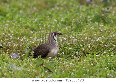 Oriental Pratincole (Glareola maldivarum) Bird on the ground in nature at Bang Pra Reservoir, Thailand