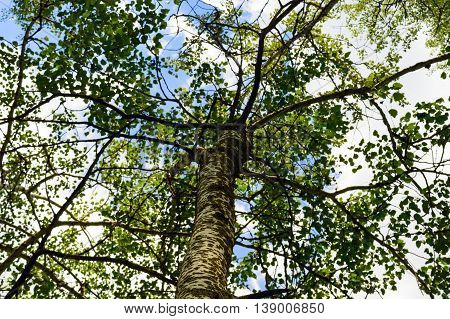 High tree with white bark (aspen poplar birch). bottom view