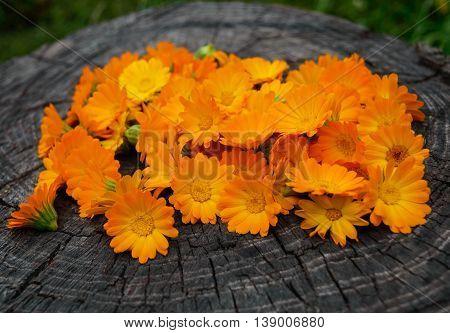 Marigold (Calendula) flowers on a wooden stump. Medicinal plant