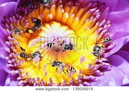 Among bees for nectar on a lotus flower
