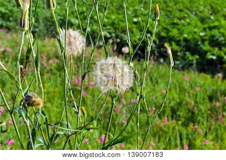 The field (meadow) flowers similar to dandelions on a background of green grass