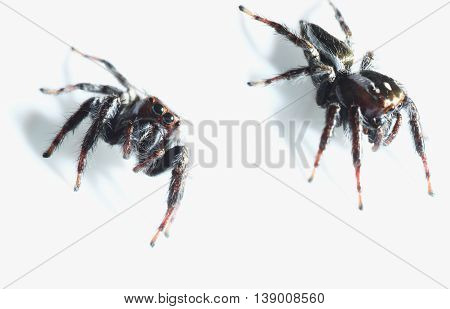 Two Jumping spider on the white background