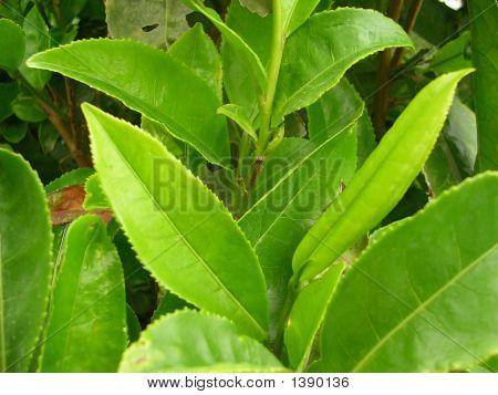 Green Tea Tree