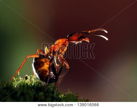 Big beautiful ant standing on a moss. Ant red forest