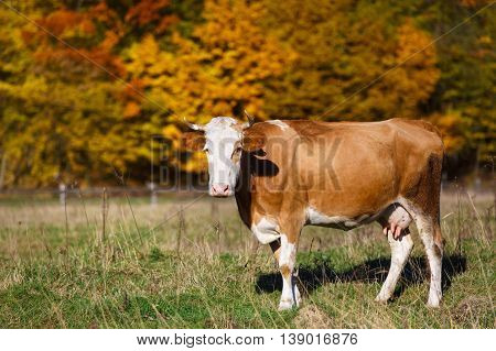 Single cow grazes in field. Autumn nature background.