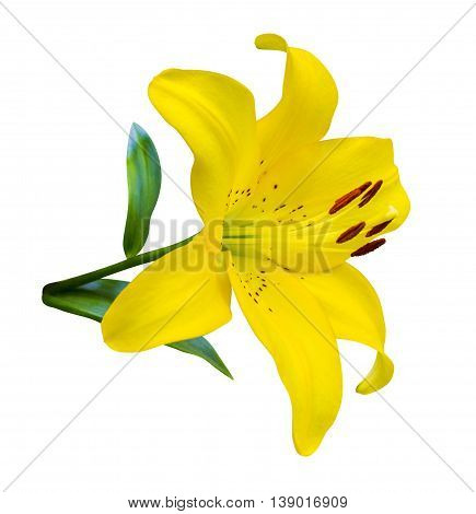 lilies. lily flower. flowers pattern with yellow lilies flower Closeup Isolated on White Background