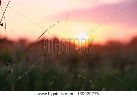 Beautiful wild meadow grass with spiderweb in sunrise