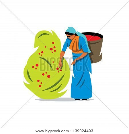 Woman with a Basket gather Coffee Beans from the bush Isolated on a White Background