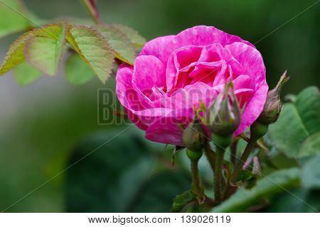 Close up photo of a shrub rose