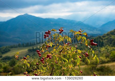 Rosehip plant with berries against Tuscany hills and mountains in the background