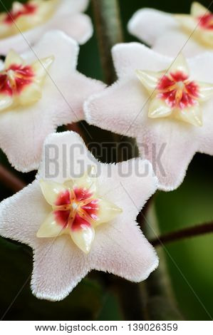 Close up photo of Hoya carnosa, wax plant