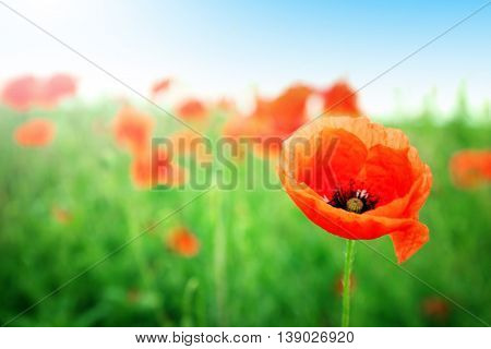 Beautiful landscape with wild red poppy on summer day